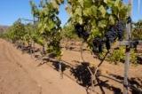 Vinos mexicanos: en busca del terroir
